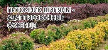 Питомник белорусских саженцев в Шипянах