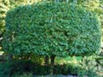 Особые рекомендации по уходу за формованными растениями