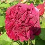 Ароматные английские розы от David Austin
