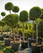 Не бойтесь сажать большие деревья!
