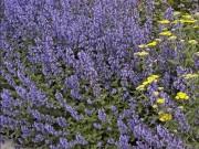 Растения для ароматного цветника