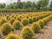 Хвойные растения в питомнике в Минском районе.