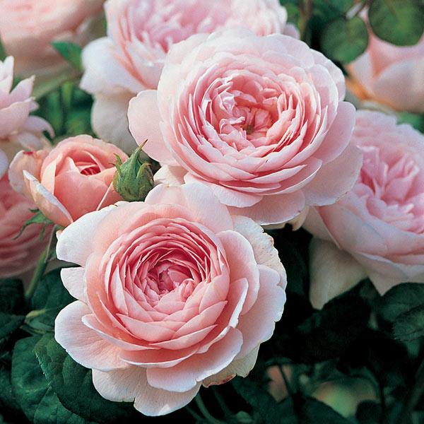 Купить розы остина