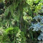 Поступление хвойных растений
