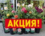 Акция на контейнерные розы
