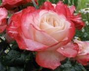 Новое поступление растений: розы и рододендроны