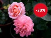 Началась неделя скидок на розы