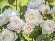 Заказывайте розы к новому сезону