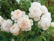 В продаже польские розы и розы Д.Остина