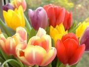 Тюльпаны для осенней посадки