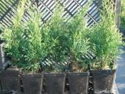Молодые растения оптом