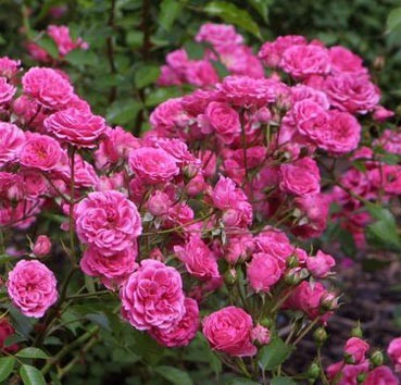 Роза парковая эльмшорн