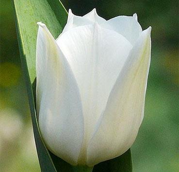 Тюльпан ROYAL VIRGIN (Триумф)