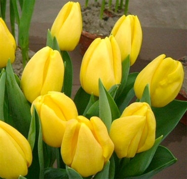 Тюльпан STRONG GOLD (Триумф)