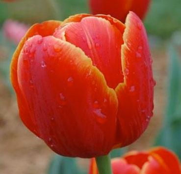 Тюльпан VERANDI (Триумф)