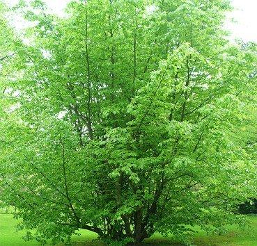 Парротия (железное дерево)