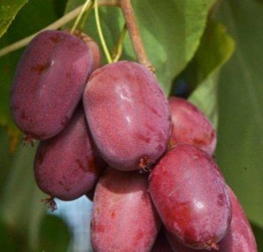 Актинидия arguta (остролистная) Purpurna Sadowa