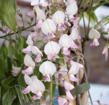 Глициния цветущая Honbeni