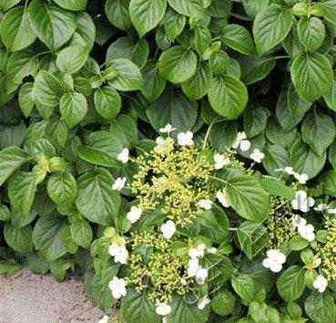 Гортензия черешковая Cordifolia