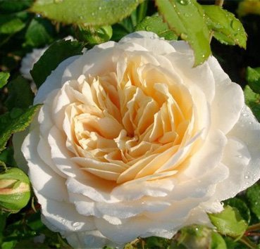 Роза английская Emanuel (Crocus Rose)