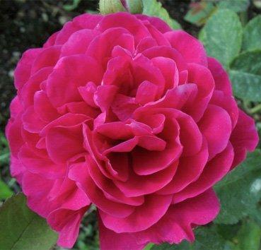 Роза английская L D Brathwate