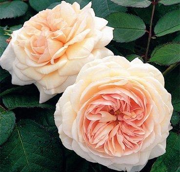 Роза английская A. Shropshire Lad