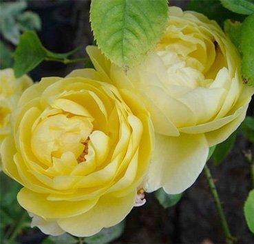 Роза английская Charlotte