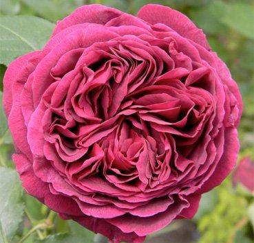 Роза английская Falstaff
