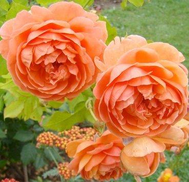 Роза английская Summer Song