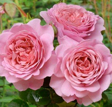 Роза английская Princess Alexandra of Kent