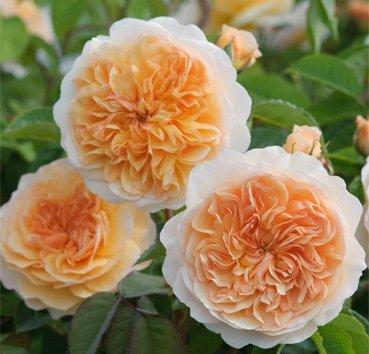 Роза английская Port Sunlight