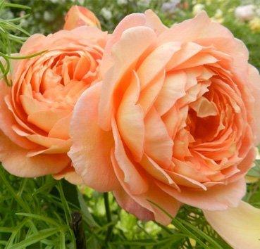 Роза английская Lady of Shalot (CLG)
