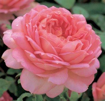 Роза английская Jubilee Cerebration