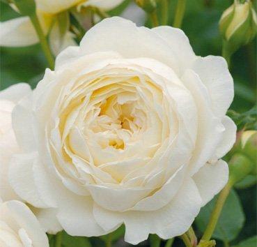 Роза английская Claire Austin (CLG)
