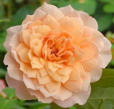 Роза английская Grace