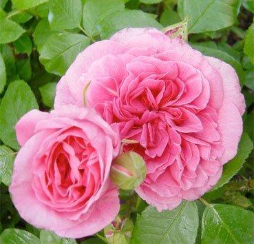 Роза английская Gertruda Jekyll (Gertruda Jekyll CLG)