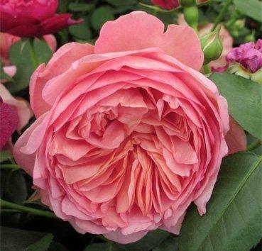 Роза английская Boskobell