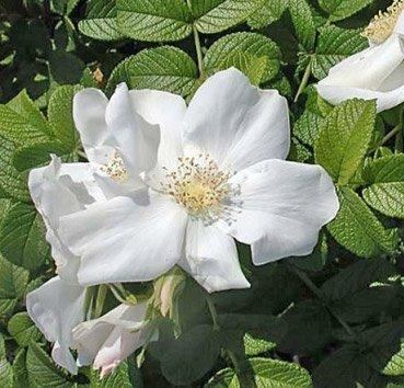 Роза морщинистая Alba