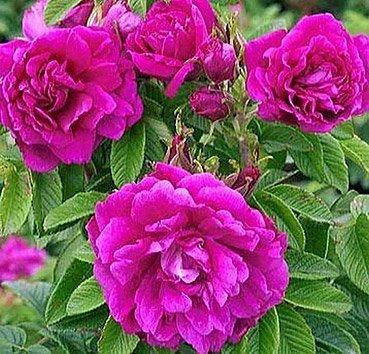 Роза морщинистая Hanza