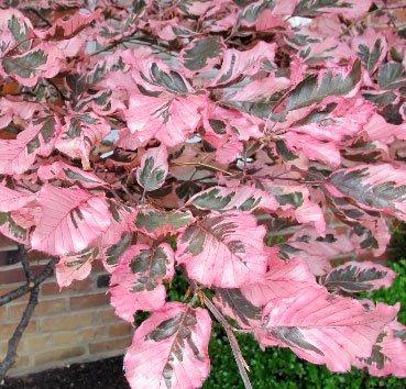 Бук лесной Purpurea Tricolor