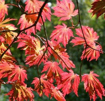 Клен японский Aconitifolium