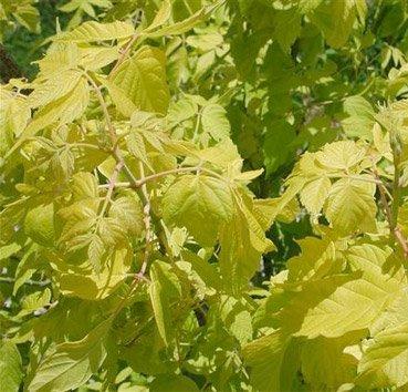 Клен ясенелистный Auratum