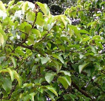 Тополь шершавоплодный