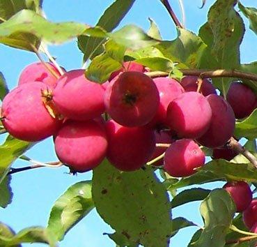 Яблоня Dolgo