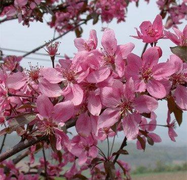 Яблоня Coccinella