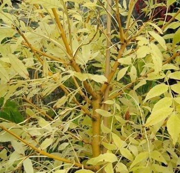 Ясень обыкновенный Jaspidea