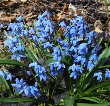 Сцилла Siberica Spring Beaty