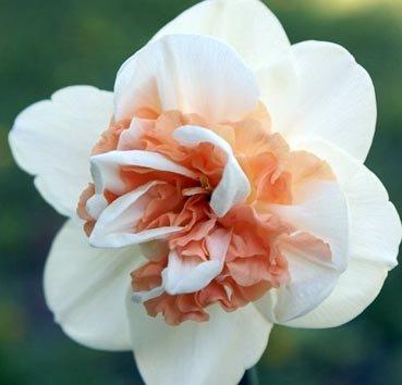 Нарцисс Pink paradise