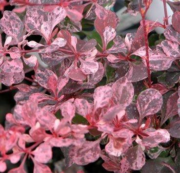 Барбарис Тунберга Pink Queen