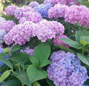 Гортензия крупноцветковая Endless Summer